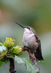 Hummingbird Portrait (Sun~Lover) Tags: hummingbird rubythroated summer portrait illinois backyard