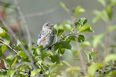 Eastern Bluebird-40727.jpg (Mully410 * Images) Tags: bluebird ramseycountypark birding bird naturecenter fledgling park birdwatching birds easternbluebird tamaracknaturecenter