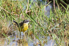 Bergeronette printanire_160805_Tournebelle (f.chabardes) Tags: aout archosauriens aude passriformes 005lieux lagunesdelanarbonnaise bergeronnetteprintanire westernyellowwagtail classification motacillaflava france motacillids 2016 languedoc vertbrs 007nature 013datation oiseaux narbonnais 3t neoaves animaux tournebelle