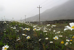 Where have all the flowers gone...? (Robert Saucier) Tags: terreneuve newfoundland poteau fil wire fleurs flowers montagne marguerites brume fog pole vert green blanc white 1323274