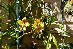 Cyrtochilum macranthum 2-1 species orchid (nolehace) Tags: flower bloom plant cyrtochilum macranthum 21 species orchid 716 summer nolehace fz1000 sanfrancisco