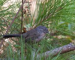 Wrentit (Tom Clifton) Tags: pointlobos northshore birding wrentit