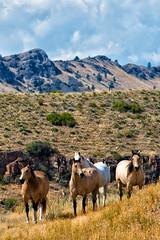 Wild Horses Holter Lake (MICHAEL GALLITELLI) Tags: montana michaelgallitelli metrolandphoto landscape landscapephotos horses horse wildhorses