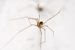 Der Jger auf dem Seil - The hunter on the rope (ralfkai41) Tags: makro spider insekten daddylonglegs zitterspinne spinne nature insects pholcusphalangioides natur daddylonglegsspider cellar grosezitterspinne tiere keller