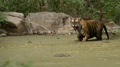 Angry Tiger (Raymond J Barlow) Tags: tiger india wildlife travel adventure raymondbarlow phototour swamp jungle anger snarl