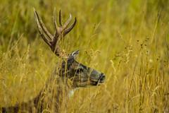 deerAug14-16 (divindk) Tags: albeecreekcampground california camouflage commonname deer humboldtredwoods muledeer odocoileushemionus odocoileushemionuscalifornicus other places scientificname unitedstates weott antlers camping grass horns