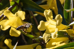Golden Trumpet Vine and bee (Merrillie) Tags: athome woywoy nikon flowers nature australia flying goldentrumpet d5500 nswcentralcoast newsouthwales nsw centralcoastnsw bee photography insect yellow centralcoast petals goldentrumpetvine