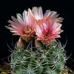 Neoporteria eriosyzoides (clement_peiffer) Tags: neoporteria eriosyzoides neoporteriaeriosyzoides flowerscolors