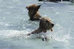 IMG_9409 (kris10pix) Tags: dogpaddle2016 dogs puppies puppy splash pool fetch dog wisconsin capitolk9s mutts purebreed leap madisonwi goodmanspool wetdog summer