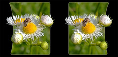 Tarnished Plant Bug, Lygus Lineolaris, on Robins Plantain, Erigeron Pulchellus 1 - Crosseye 3D (DarkOnus) Tags: pennsylvania buckscounty huawei mate8 cell phone 3d stereogram stereography stereo darkonus closeup macro insect tarnished plant bug lygus lineolaris robins plantain erigeron pulchellus crossview crosseye oob oof hyper hyperstereo ttw