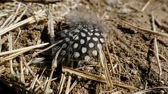 Perlhuhn-Feder (Stefan Giese) Tags: namibia afrika africa okaukejo feder perlhuhn guineafowl feather panasonic fz1000