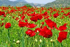 Poppy field, Greece (Mikhail & Yana) Tags: landscape greece poppyfield flowers