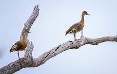 2:45pm, lagoon creek, 1.75 plumed whistling ducks (Fat Burns  (gone bush)) Tags: plumedwhistlingduck dendrocygnaeytoni bird australianbird fauna australianfauna duck waterbird sigma150600mmf563dgoshsmsports sigmateleconvtc1401nik nikond750 nature feathers lagooncreek barcaldine australia