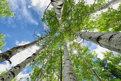 Aspen in San Juan National Forest (Cathy Neth) Tags: 1424mm 2016inphotos 365photoproject 365project flowermoundphotographer flowermoundphotography forest sanjuannationalforest beautifullandscapes bluesky cathyneth cathynethphotography circularpolarizer cnethphotography colorado coloradolandscapes d810 landscape landscapephotography landscapes leefilters lookingup nature naturesbeauty nikon nikond810 pagosasprings pagosaspringscolorado pagosaspringslandscapes project365 rollingwhiteclouds treephotography trees whiteclouds whitepuffyclouds
