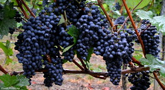 Die Trauben sind reif (diwe39) Tags: untereisenheim trauben weinberg herbst2016