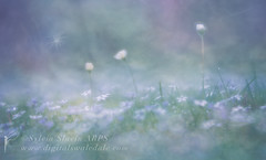 Wishing (Sylvia Slavin ARPS (woodelf)) Tags: flowers lawn blue wishing seed wish love memory lensbaby velvet soft bokeh garden