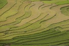Sapa - Mu Chang Chai Landscape (Donykung) Tags: sapa muchangchai vietnam rice terrace gold landmark field mountain landscape sky wide light green nature