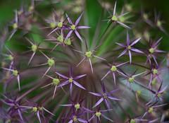 Allium (janroles) Tags: plant serene allium garden nature flower canoneos400d flickr depthoffield outdoor england fleur summer dof june