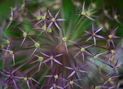 Allium (janroles) Tags: plant serene allium garden nature flower canoneos400d flickr