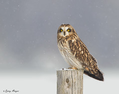 Short-Eared Owl on Post (Corey Hayes) Tags: camera winter wild snow ontario canada face car canon photo eyecontact post farm birding melbourne raptor short 7d owl snowing birdofprey shortearedowl 700mm thewonderfulworldofbirds coreyhayes 500f4is