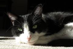 Olive Lazing in the Sun (Mr.TinDC) Tags: pet cats pets cute animal animals cat oliver kitty tuxedocats kitties felines tuxedocat blackandwhitecats