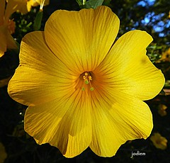 Reinwardtia (frangipanica) Tags: flowers macro yellow australia nsw floraandfauna faunaandflora gorgeousflowers perfectpetals reinwardtia beautifulblossoms asingleflower wollongbar floraandfaunaoftheworld freeflickrflowers flickrsawesomeblossoms flowersonflickr madaboutflowers