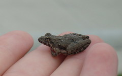 Little Frog (MichaelaSMillion) Tags: macro frog toad tiny fingertips