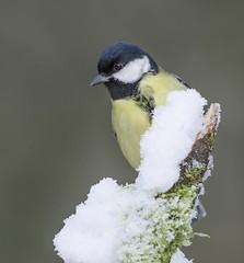 Snowy Great Tit (Blackwolfskye) Tags: snow green bird nikon 300mm perch f4
