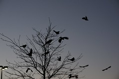 The Nightly Gathering (parmo) Tags: tree bird austin texas tx flock grackle pleasantvalley