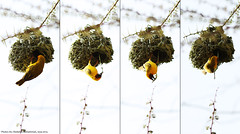 Nesting  (Abdullah M) Tags: tree bird birds yellow canon nest ksa       5d3