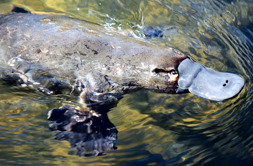 Platypus  fully emerged from the water. by Trevira1, on Flickr