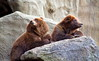 On the lookout (Ste.Baz) Tags: newyorkcity goofy animals zoo eyes bronx surveillance goofballs stare bronxzoo mammals claws ursus lookoutpost funnyanimals osos brownbears twobears actos canon18200mm canont1i