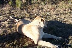 South Africa Safari Field Guide 6 month internship (Frontierofficial) Tags: southafrica buffalo safari tigers lions rhinos antelope monkeys giraffe elephants parrots fieldguide fgasa