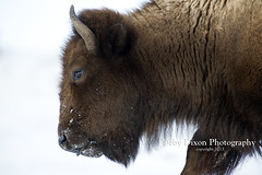 Bison cow 2 (Deby Dixon) Tags: winter snow nature cows wildlife bull yellowstonenationalpark yellowstone wyoming bison calves debydixonphotography