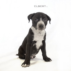 Elbert the 8 week old Labrador mix (Immature Animals) Tags: arizona rescue baby black cute animal animals puppy mix lab labrador tucson adorable az center marshall pima derek bark care immature koalition pacc derekmarshall barktucson immatureanimals immatureanimalscom backpacc ishootcute