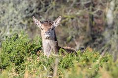 When I grow up ….. (devonteg) Tags: wild nikon cropped lichen february oaks calf youngster reddeer nosy exmoor gorse 2013 70300mm4556vr d7000 spikytop
