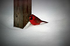 Cardinal in the snow.... (TinyAcorn) Tags:
