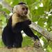 Scimmia capuccino in Cahuita