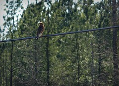 The shooting conditions (builder24car) Tags: perspective northcarolina lookingup powerline birdsofprey redshoulderedhawk thegreatoutdoors backtonature
