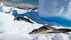 IMG_3625 (ravas51) Tags: blue snow ice antarctica leopard seal iceberg icebergs leopardseal gadventures