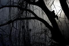 "It's time to ""climb"" home (HOWLD) Tags: winter sunset sunlight tree canon daylight squirrel darkness short winterday howd oaklandlake 135mmf2 oaklandgardens 5dmiii howardlaudesign"