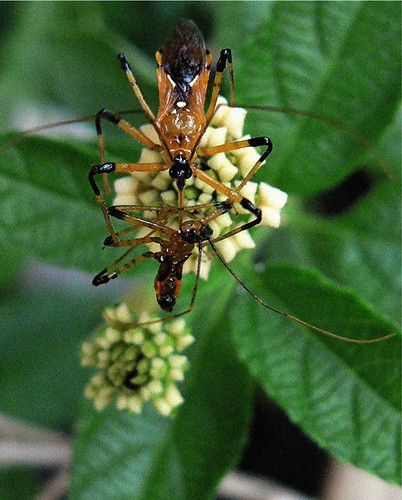 Assassinated by another assassin! Assassin bugs.