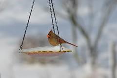 Bird B (deanrr) Tags: snow cardinal bokeh feeder backyardbird femalecardinal morgancountyalabama