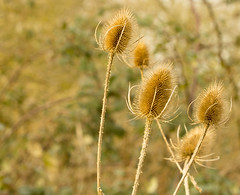 Teasels-3415 (WendyCoops224, Bit busy, here off & on a while) Tags: canon eos bokeh study teasel spikey fragile brittle 600d 100400mml
