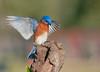 Bluebird Landing (Amy Hudechek Photography) Tags: bird spring texas song ngc houston bluebirds easternbluebird happyphotographer amyhudechek
