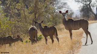 Greater Kudu, females (Tragelaphus strepsiceros) - em Liberdade [WilLife]