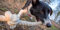 My Precious (Bas Bloemsaat) Tags: dog mac action border bordercollie