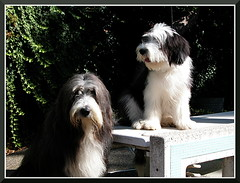 AstroAndComit_1474 (bjarne.winkler) Tags: dog male english female sheep astro beardie comit