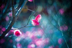 Awakening (moaan) Tags: life leica sun sunlight sunshine 50mm dof blossom bokeh dr summicron utata blossoming february ume m9 japaneseapricot f20 umeblossom 2013 inlife leicasummicron50mmf20dr leicam9