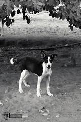 (Mashael Ahmed _  ) Tags: dog animal ahmed         mashael